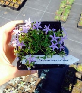 Campanula garganica 'Major', Колокольчик гарганский 'Мажор'