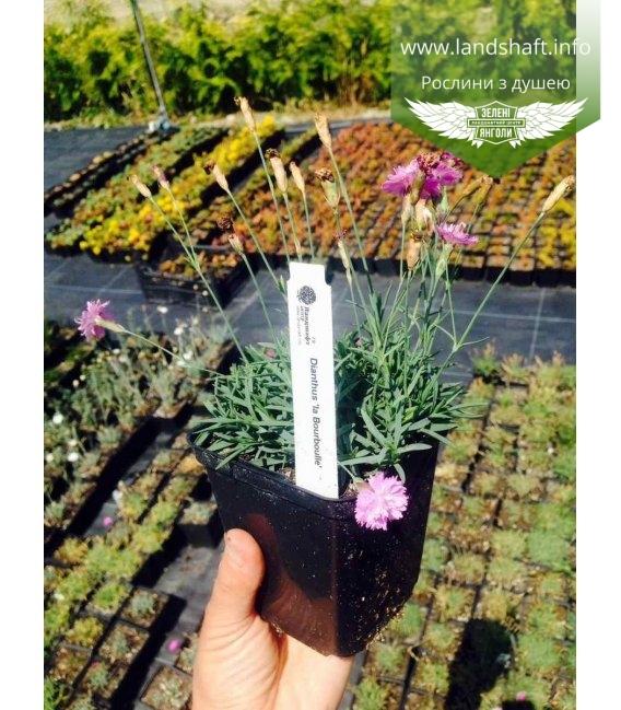 Dianthus gratianopolitanus 'La Bourbulle', Гвоздика гренобльська 'Ла Борбулл'