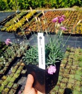 Dianthus gratianopolitanus 'La Bourboulle', Гвоздика гренобльская 'Ла Борбулл'