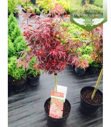 Acer palmatum 'Shaina', Клен пальмолистий 'Шаіна'