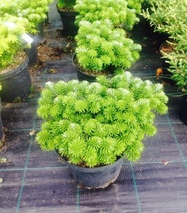 Abies koreana 'Brillant', Пихта корейская 'Бриллант'