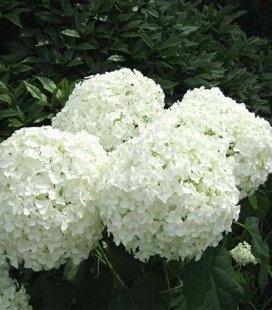 Hydrangea arborescens 'Strong Annabelle' Гортензия древовидная 'Стронг Анабель'