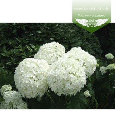Hydrangea arborescens 'Strong Annabelle' Гортензия древовидная