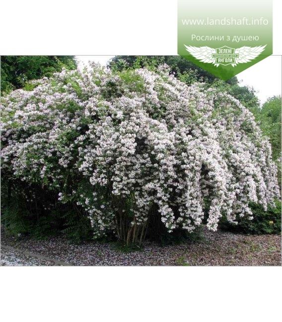 Kolkwitzia amabilis, Кольквіція чарівна