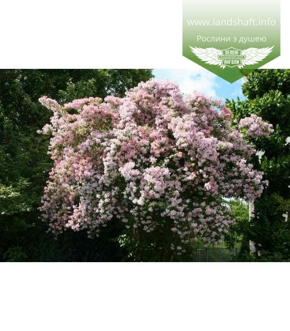 Kolkwitzia amabilis Кольквиция прелестная