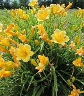 Hemerocallis hybrida 'Stella de Oro', Лілейник гібридний 'Стелла Де Оро'