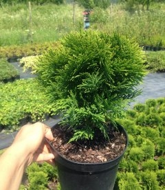 Thuja occidentalis 'Danica' Туя западная