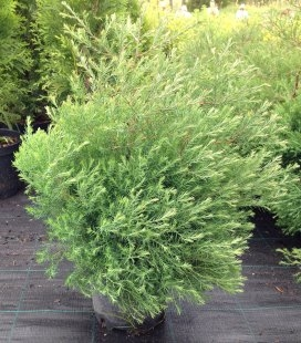 Thuja occidentalis 'Filicoides' Туя західна