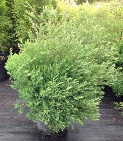 Thuja occidentalis 'Filicoides' Туя западная