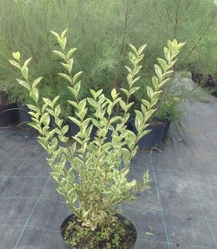 Ligustrum ovalifolium 'Argenteum', Бирючина овальнолиста 'Аргентеум'