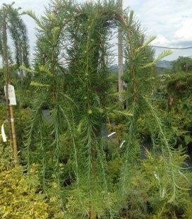 Larix decidua 'Pendula' Модрина європейська