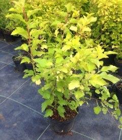 Physocarpus opulifolius 'Luteus' Пузыреплодник калинолистный
