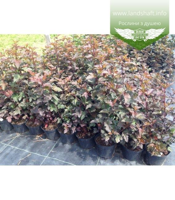 Physocarpus opulifolius 'Diabolo' Пузыреплодник калинолистный