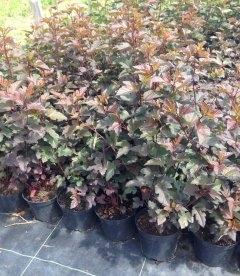 Physocarpus opulifolius 'Diablo', Пухироплідник калинолистий 'Дябло'