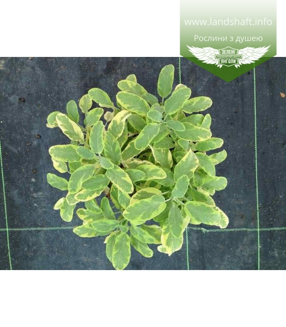 Salvia officinalis 'Variegata', Шавлія лікарська 'Варієгата'