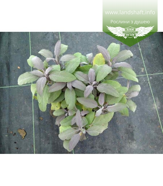 Salvia officinalis 'Purpurascens' Шалфей лекарственный