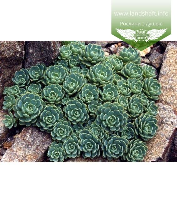 Sedum pachyclados, Очиток товстогіллястий