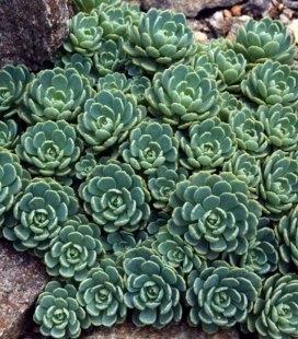 Sedum pachyclados, Очиток толстоветвистый