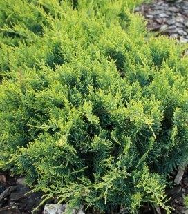 Juniperus virginiana 'Golden Spring' Можжевельник виргинский 'Голден Спринг'
