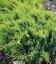 Juniperus virginiana 'Golden Spring', Можжевельник виргинский 'Голден Спринг'