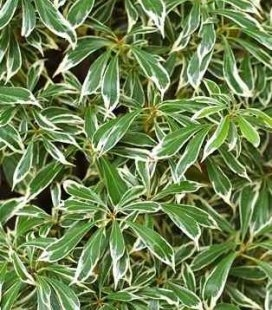 Pieris japonica 'Variegata', Пієріс японський 'Варієгата'