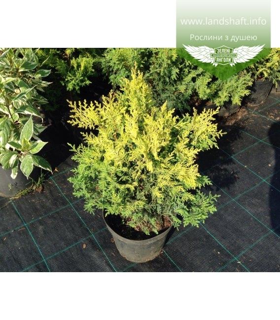 Chamaecyparis pisifera 'Plumosa Aurea', Кипарисовик горохоплідний 'Плюмоза Ауреа'