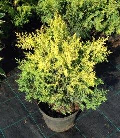 Chamaecyparis pisifera 'Plumosa Aurea' Кипарисовик горохоплодный