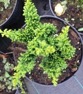 Chamaecyparis obtusa 'Chirimen', Кипарисовик туполистий 'Чірімен'
