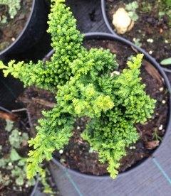 Chamaecyparis obtusa 'Chirimen' Кипарисовик туполистный