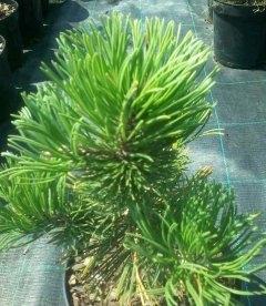 Pinus mugo 'Krauskopf', Сосна горная 'Краускопф'