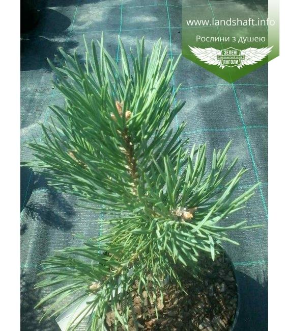 Pinus sylvestris 'Albyns', Сосна звичайна 'Альбінс'