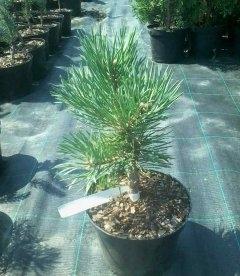 Pinus sylvestris 'Albyns' Сосна обыкновенная