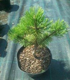 Pinus mugo 'Winter Gold' Сосна горная