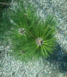 Pinus nigra 'Pyramidalis' Сосна черная 'Пирамидалис'