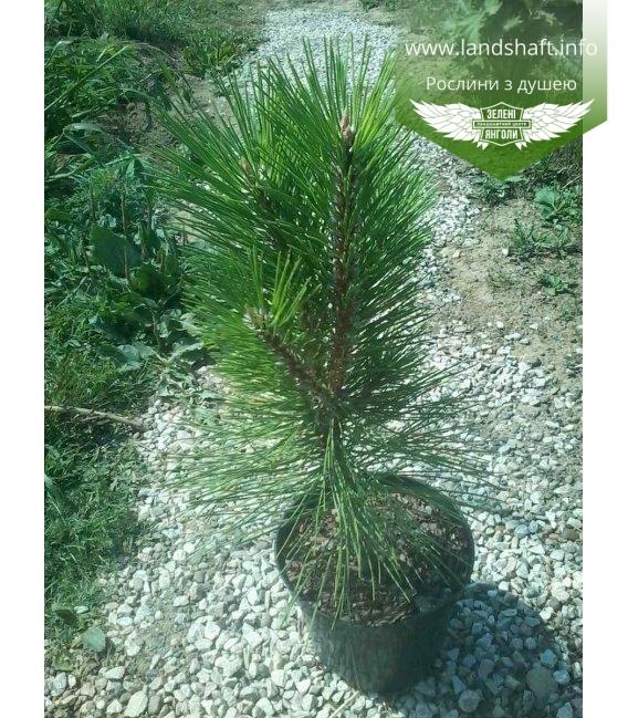 Pinus nigra 'Pyramidalis', Сосна чорна 'Пірамідаліс'