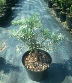Abies concolor 'Archer's Dwarf', Ялиця одноколірна 'Арчерз Дварф'