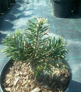 Abies lasiocarpa 'Green Globe', Ялиця субальпійська 'Грін Глоуб'