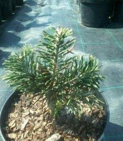 Abies lasiocarpa 'Green Globe', Пихта субальпийская 'Грин Глоуб'