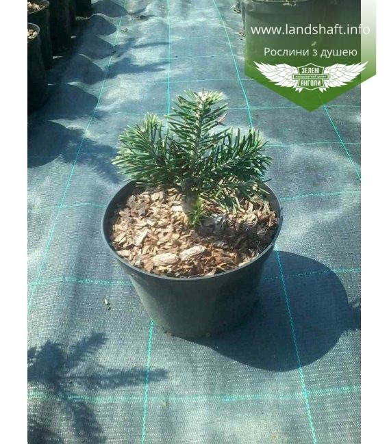 Abies lasiocarpa 'Green Globe' Пихта субальпийская