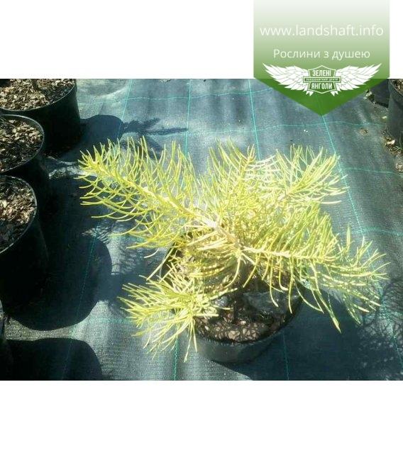 Abies concolor 'Wintergold', Ялиця одноколірна 'Вінтерголд'