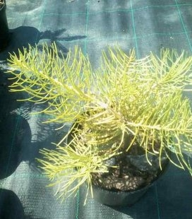 Abies concolor 'Wintergold' Ялиця одноколірна