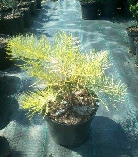 Abies concolor 'Wintergold', Пихта одноцветная 'Винтерголд'