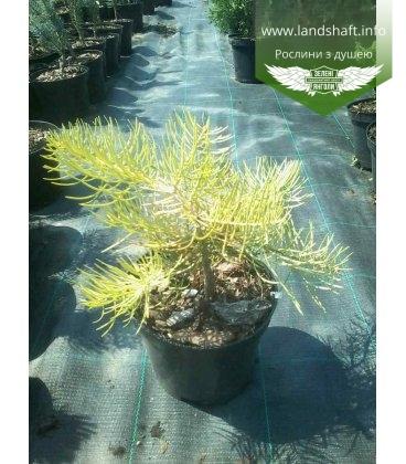 Abies concolor 'Wintergold' Пихта одноцветная