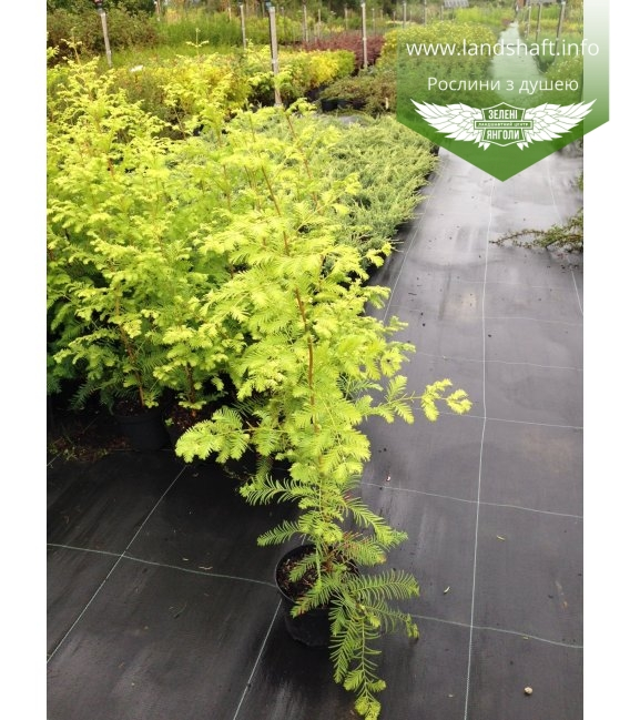 Taxodium distachum Кипарис болотный (Таксодиум)