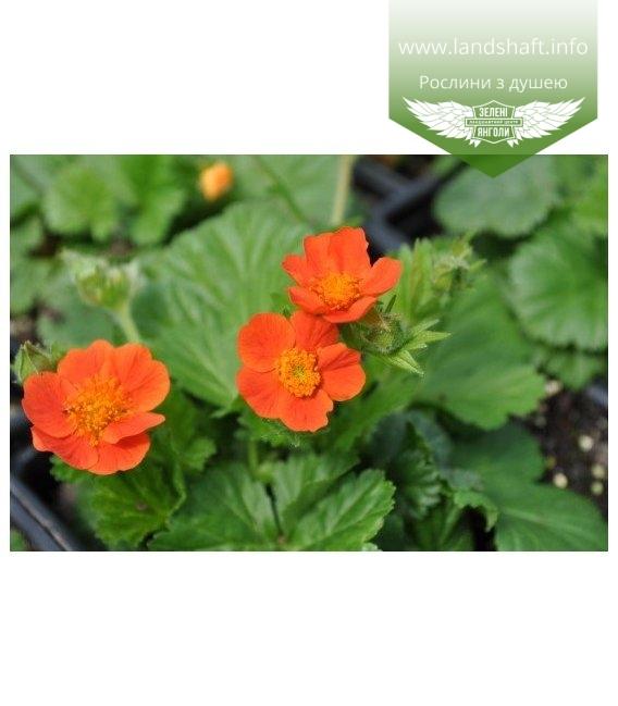 Geum coccineum Гравилат коралловый (оранжевый цветок)