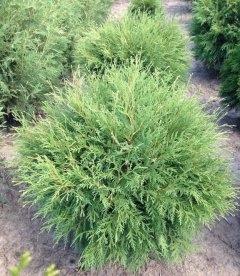 Thuja occidentalis 'Globosa', Туя західна 'Глобоза'
