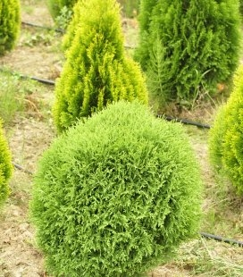 Thuja occidentalis 'Little Gem' Туя західна
