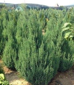 Juniperus chinensis 'Stricta' Можжевельник китайский