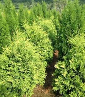 Thuja occidentalis 'Wareana Lutescens' Туя западная