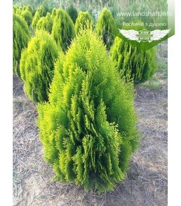 Thuja orientalis 'Aurea Nana' Туя восточная с корневым комом